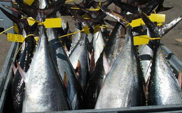 With 21,000 tons exported tuna represents 5% of GDP