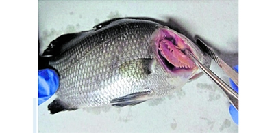 New viral disease detected in Asian sea bass